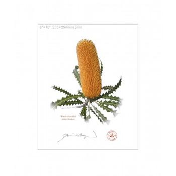 154 Ashby's Banksia (Banksia ashbyi) - 8″×10″ Flat Print, No Mat