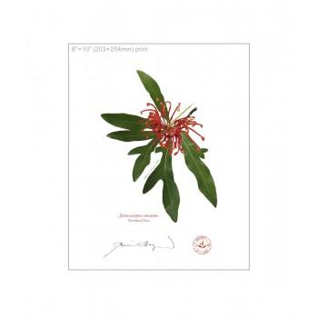 155 Firewheel Tree (Stenocarpus sinuatus) - 8″×10″ Flat Print, No Mat