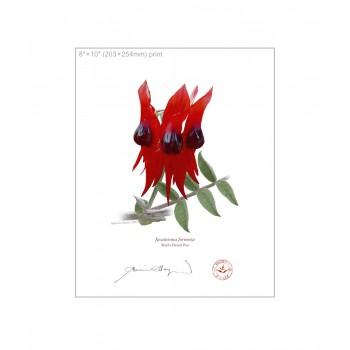 160 Sturt's Desert Pea (Swainsona formosa) - 8″×10″ Flat Print, No Mat