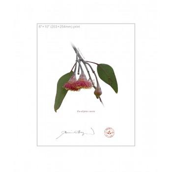 161 Eucalyptus caesia - 8″×10″ Flat Print, No Mat