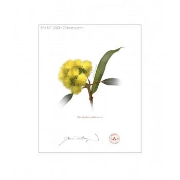 162 Eucalyptus erythrocorys - 8″×10″ Flat Print, No Mat