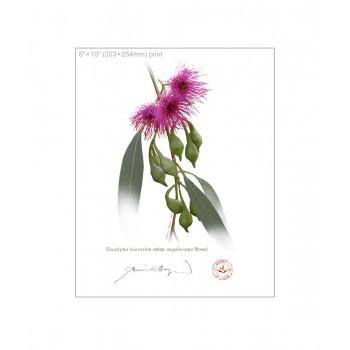 164 Eucalyptus leucoxylon subsp. megalocarpa 'Rosea' - 8″×10″ Flat Print, No Mat