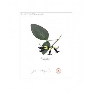 181 Black Coral Pea (Kennedia nigricans) - 8″×10″ Flat Print, No Mat