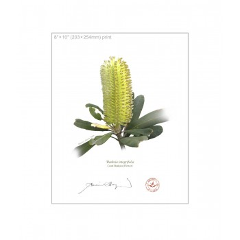 192 Coast Banksia Flower (Banksia integrifolia) - 8″×10″ Flat Print, No Mat