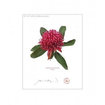 205 Waratah (Telopea speciosissima) - 8″×10″ Flat Print, No Mat