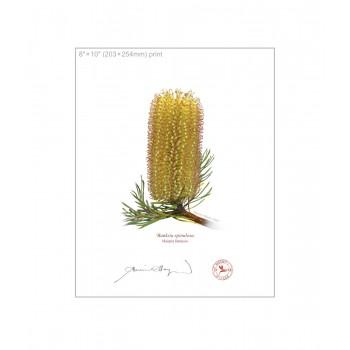 223 Hairpin Banksia (Banksia spinulosa) - 8″×10″ Flat Print, No Mat