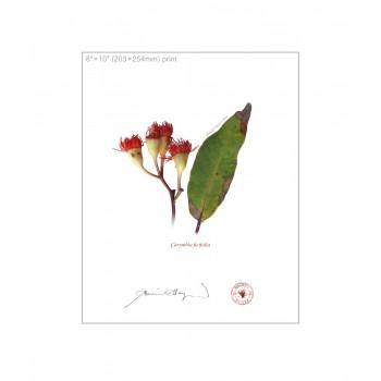 224 Corymbia ficifolia - 8″×10″ Flat Print, No Mat