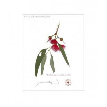 229 Eucalyptus leucoxylon subsp. petiolaris - 8″×10″ Flat Print, No Mat