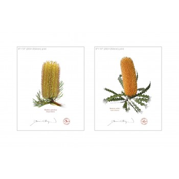 Banksia Flower Collection 2 Diptych - 8″ × 10″ Flat Prints, No Mats