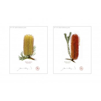 Banksia Flower Collection 3 Diptych - 8″ × 10″ Flat Prints, No Mats