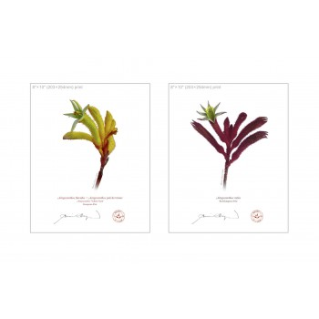 Kangaroo Paw (Anigozanthos) Diptych - 8″×10″ Flat Prints, No Mats