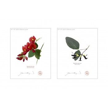Kennedia species Diptych - 8″ × 10″ Flat Prints, No Mats