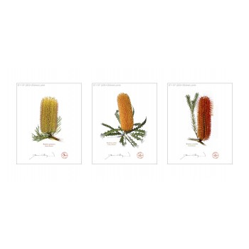 Banksia Flower Collection 1 Triptych - 8″×10″ Flat Prints, No Mats