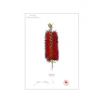 010 Bottlebrush (Callistemon) - A4 Flat Print, No Mat