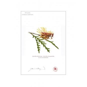 028 Grevillea 'Poorinda Blondie' - A4 Flat Print, No Mat