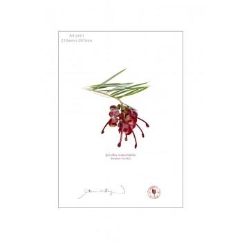 041 Rosemary Grevillea (Grevillea rosmarinifolia) - A4 Flat Print, No Mat