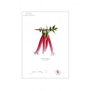 060 Native Fuchsia (Epacris longiflora) - A4 Flat Print, No Mat