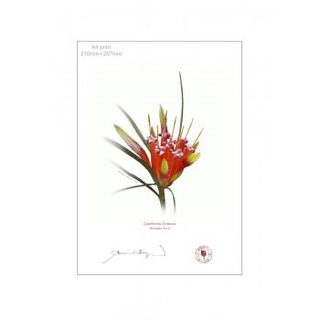 095 Mountain Devil (Lambertia formosa) - A4 Flat Print, No Mat