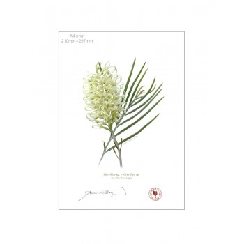 112 Grevillea 'Moonlight' - A4 Flat Print, No Mat