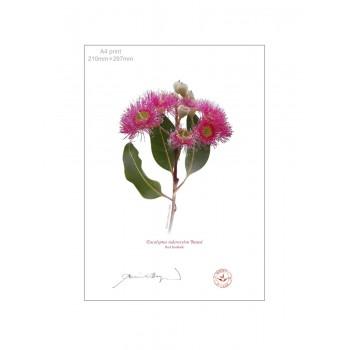 121 Red Ironbark (Eucalyptus sideroxylon 'Rosea') - A4 Flat Print, No Mat