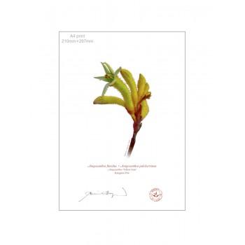 133 Kangaroo Paw (Anigozanthos 'Yellow Gem') - A4 Flat Print, No Mat