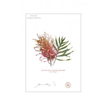135 Grevillea 'Superb' - A4 Flat Print, No Mat
