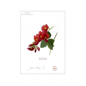 137 Cape Leeuwin Creeper (Kennedia lateritia) - A4 Flat Print, No Mat
