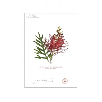 149 Grevillea 'Robyn Gordon' - A4 Flat Print, No Mat