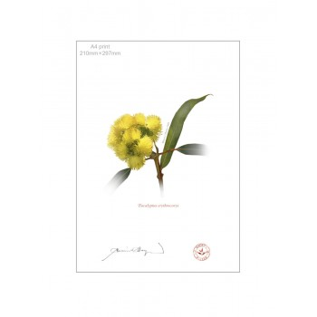 162 Eucalyptus erythrocorys - A4 Flat Print, No Mat