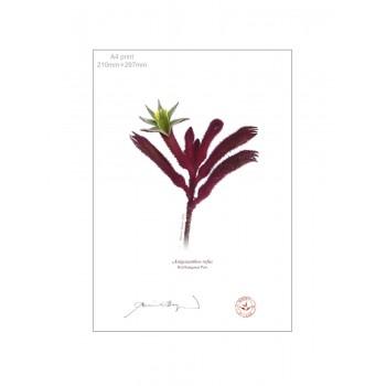 175 Red Kangaroo Paw (Anigozanthos rufus) - A4 Flat Print, No Mat