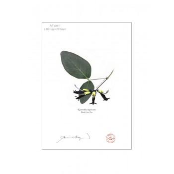181 Black Coral Pea (Kennedia nigricans) - A4 Flat Print, No Mat