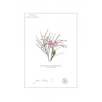 188 Grevillea 'Bulli Princess' - A4 Flat Print, No Mat