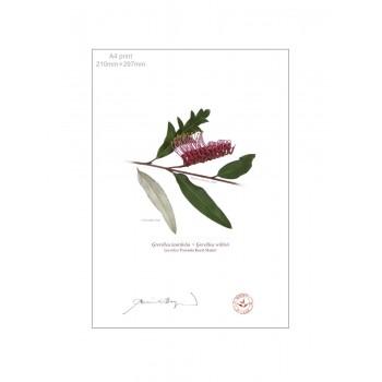 190 Grevillea 'Poorinda Royal Mantle' - A4 Flat Print, No Mat