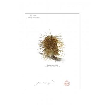 193 Spent Coast Banksia Flower (Banksia integrifolia) - A4 Flat Print, No Mat