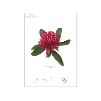 205 Waratah (Telopea speciosissima) - A4 Flat Print, No Mat