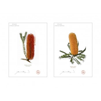 Banksia Flower Collection 4 Diptych - A4 Flat Prints, No Mats