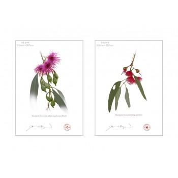 Eucalyptus leucoxylon subspecies Diptych - A4 Flat Prints, No Mats