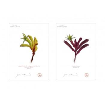 Kangaroo Paw (Anigozanthos) Diptych - A4 Flat Prints, No Mats