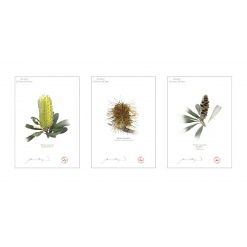 Life of a Banksia Flower Triptych - A4 Flat Prints, No Mats