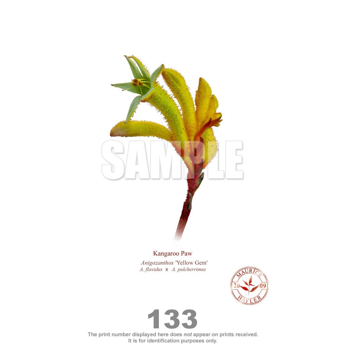 Paw (Anigozanthos) Diptych